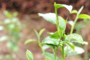 Seks kategorier af teer stammer fra den ene teplant camillia sinensis