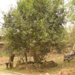 500 år gammel tetræ