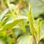 Camellia Sinensis Taliensis